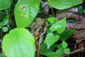 Cane Toad by Spinky1