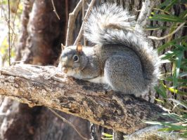 Grey Squirrel by walker201