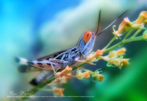 Red-eyed grasshopper by UgurDoyduk