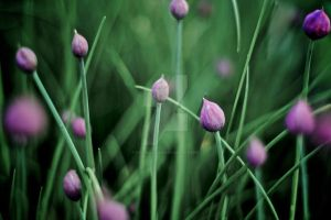 Chives by kremalicious