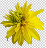 02 heliopsis+transparent by ForestGirlStock