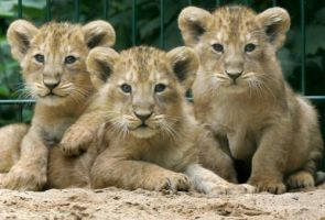 lions babies by beetween2