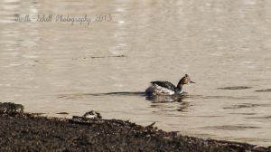 Cormorant~NOPE Grebe! by melly4260