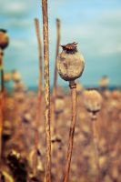 Poppy Seed Head by rejmann