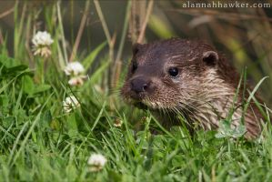 Otter 02 by Alannah-Hawker