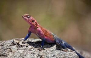 Agama Lizard by Lightkast