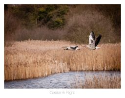 Geese in Flight by AlexMarshall