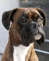 calla the welsh boxer by vjknievil