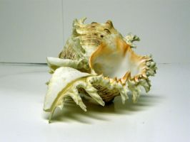Conch Shell Stock14 by NoxieStock