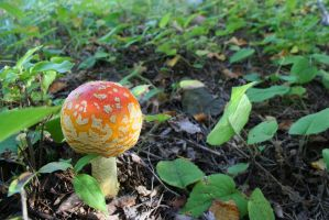 Amanita muscaria by entropy462