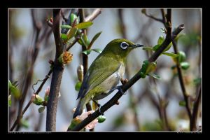 White-eye in the Park 6 by Keith-Killer