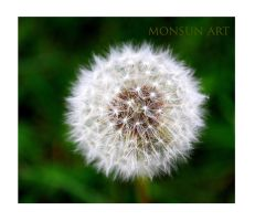 Dandelion by monsun