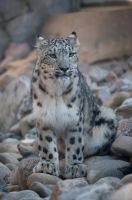 Snowleopard, KA XV by FGW-Photography