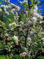 blooming trees by Darta007