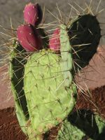 00170 - Cactus with Fruit by emstock