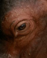 Hippo Eye by BonsEYE