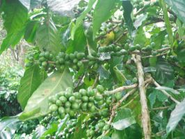 Jamaican Coffee Beans by betterxifXifXgreen