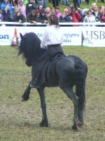 Friesian 13 by xrockinrobynstock