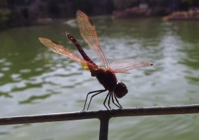 Dragonfly by Alicss