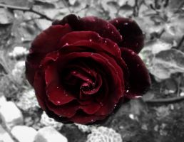 The Last Red Rose by AlexWekell