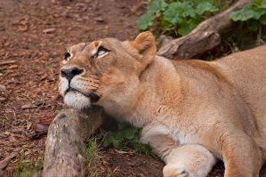 Lioness 0092 by robbobert