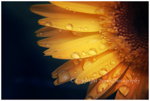 Sunflower II by JunnyPhotography