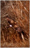 Northern Harrier Hunting II by SuicideBySafetyPin