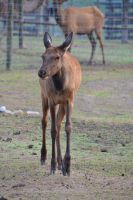 Elk Cow by PhotographyAndGoats