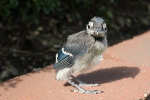 Blue Jay baby by Lynxwing