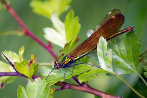 Beautiful Demoiselle (Calopteryx virgo) by Steve-FraserUK