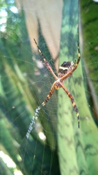 A spider in Paraguay by PaulaFriesen