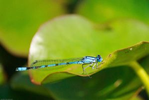 Damselfly by GMCollins
