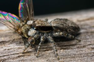 Jumping Spider with Prey I by dalantech