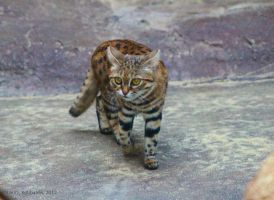 Black Footed Cat by ChaosToGlory
