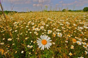 daisy meadow by stuartreading