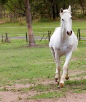 arab trot from front on by Chunga-Stock