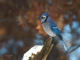 Blue jay in full dress by DGAnder