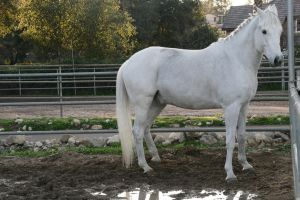 white horse stock 11 by Aestivall-Stock