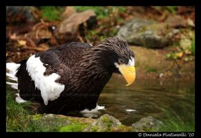 Stellers Sea Eagle III by TVD-Photography