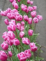 Tulips 17 by whisper-n-the-wind