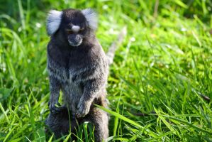 Marmoset by Bobbykim666
