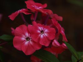 PHLOX FRAGRANT by trevj