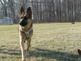 German Shepherd Stock 07 by Unseelie-Stock