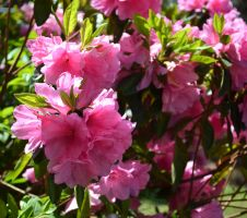 This Past Spring-Pink Flowers2 by MrsChibi