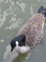 Canadian goose 01 by CotyStock