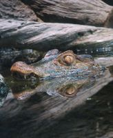 Caiman Stock by thiselectricheart
