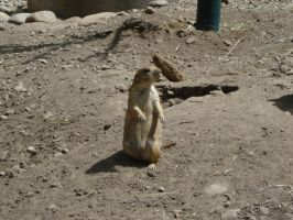 Prairie dog by Silver-she-wolf-14