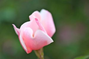 Gentle Rose... by TheJ0URNAL