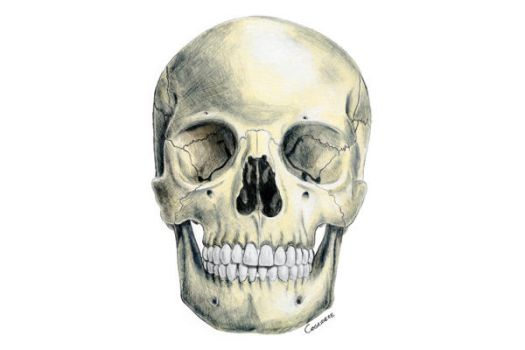 Anatomic Drawing Skull by Canegridere
