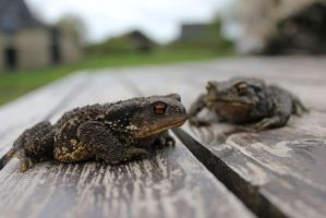 Toads on a table by Icedrop21